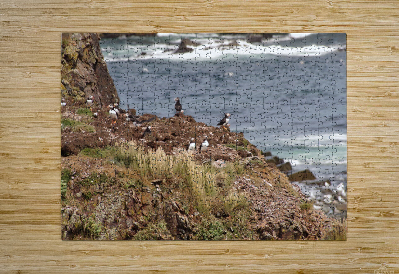 Puffins being puffins 15  HD Metal print with Floating Frame on Back