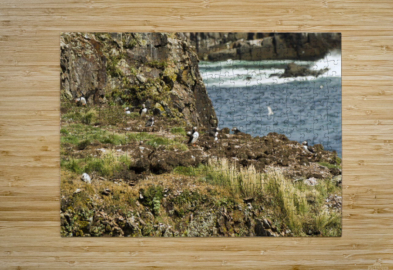 Puffins being puffins 9  HD Metal print with Floating Frame on Back