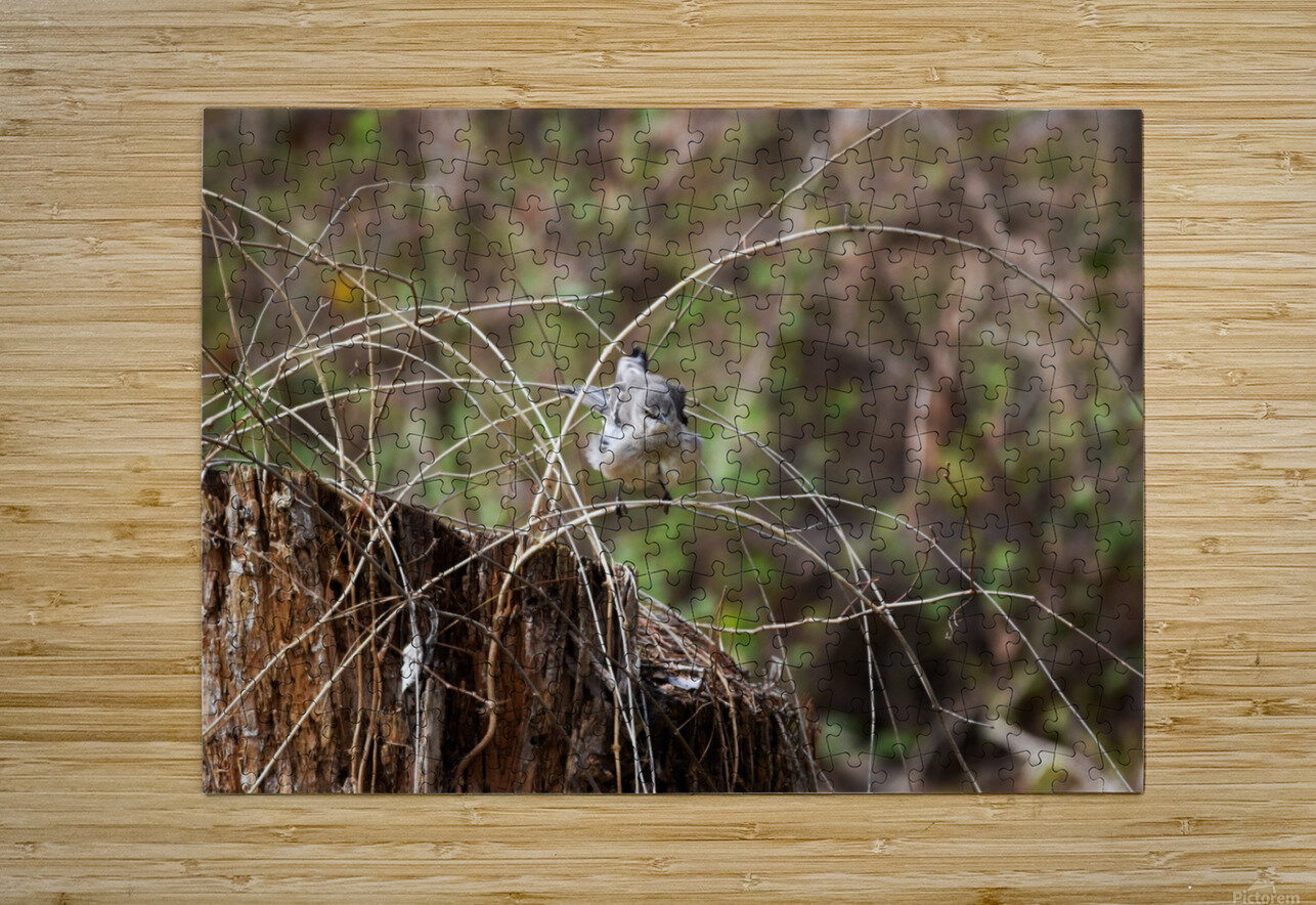 Angry Mockingbird 4  HD Metal print with Floating Frame on Back