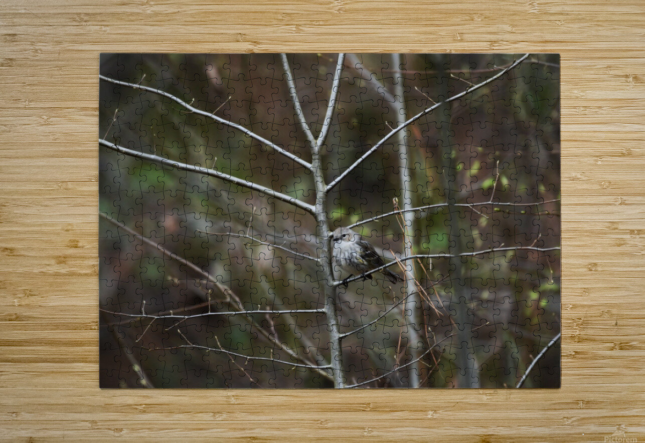 Yellow-rumped Warbler 2  HD Metal print with Floating Frame on Back