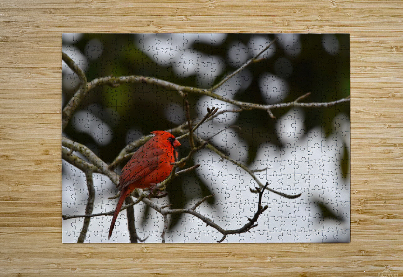 Cardinals 4  HD Metal print with Floating Frame on Back