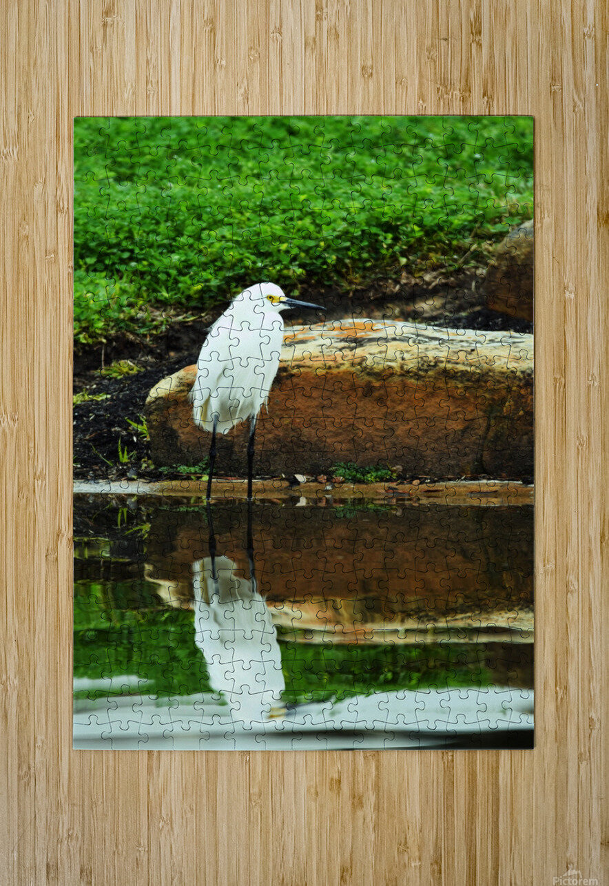 Snowy Egret  HD Metal print with Floating Frame on Back