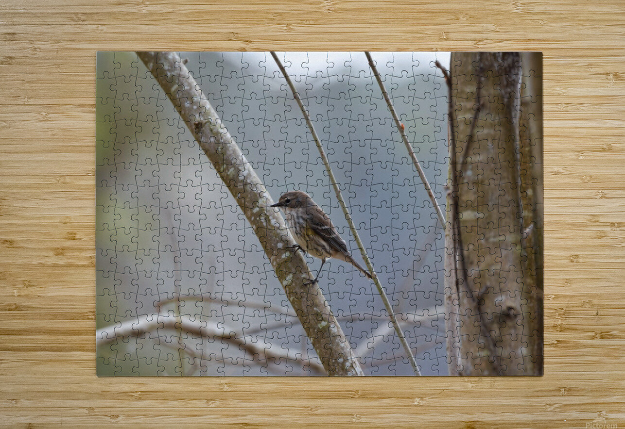 Yellow-rumped Warbler 4  HD Metal print with Floating Frame on Back