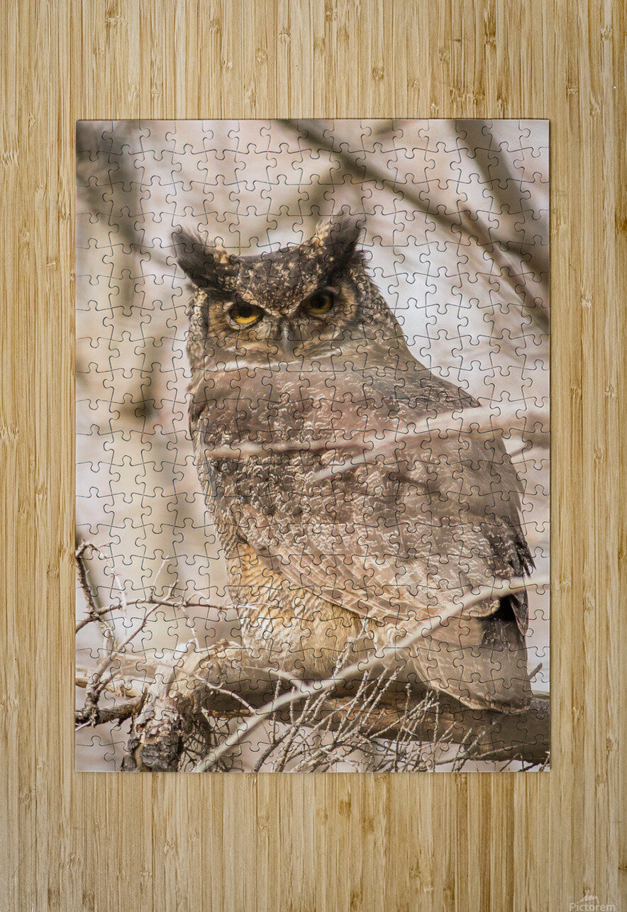 Great horned  HD Metal print with Floating Frame on Back