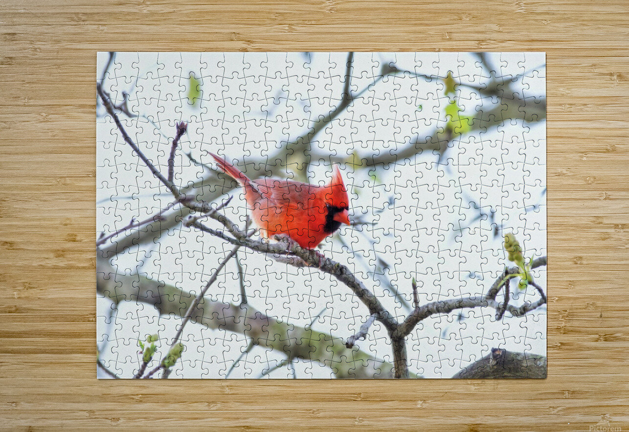 attack Cardinal  HD Metal print with Floating Frame on Back