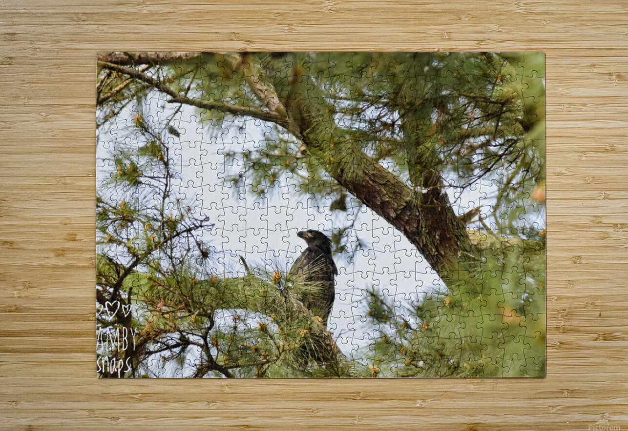Baby Eagle  HD Metal print with Floating Frame on Back