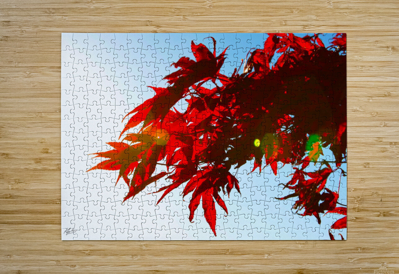 Chinese Maple  HD Metal print with Floating Frame on Back