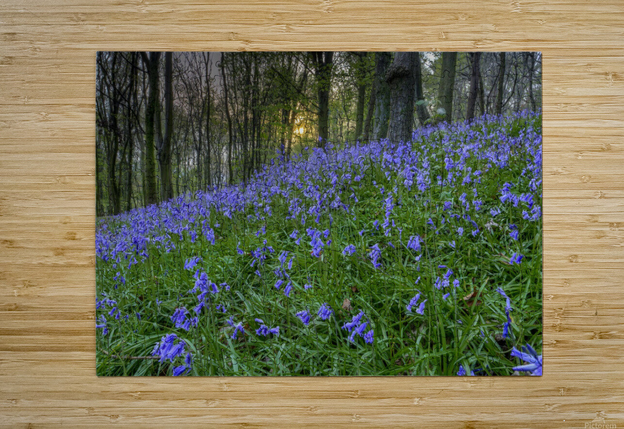 Sunset at Bluebell Wood in Margam  HD Metal print with Floating Frame on Back