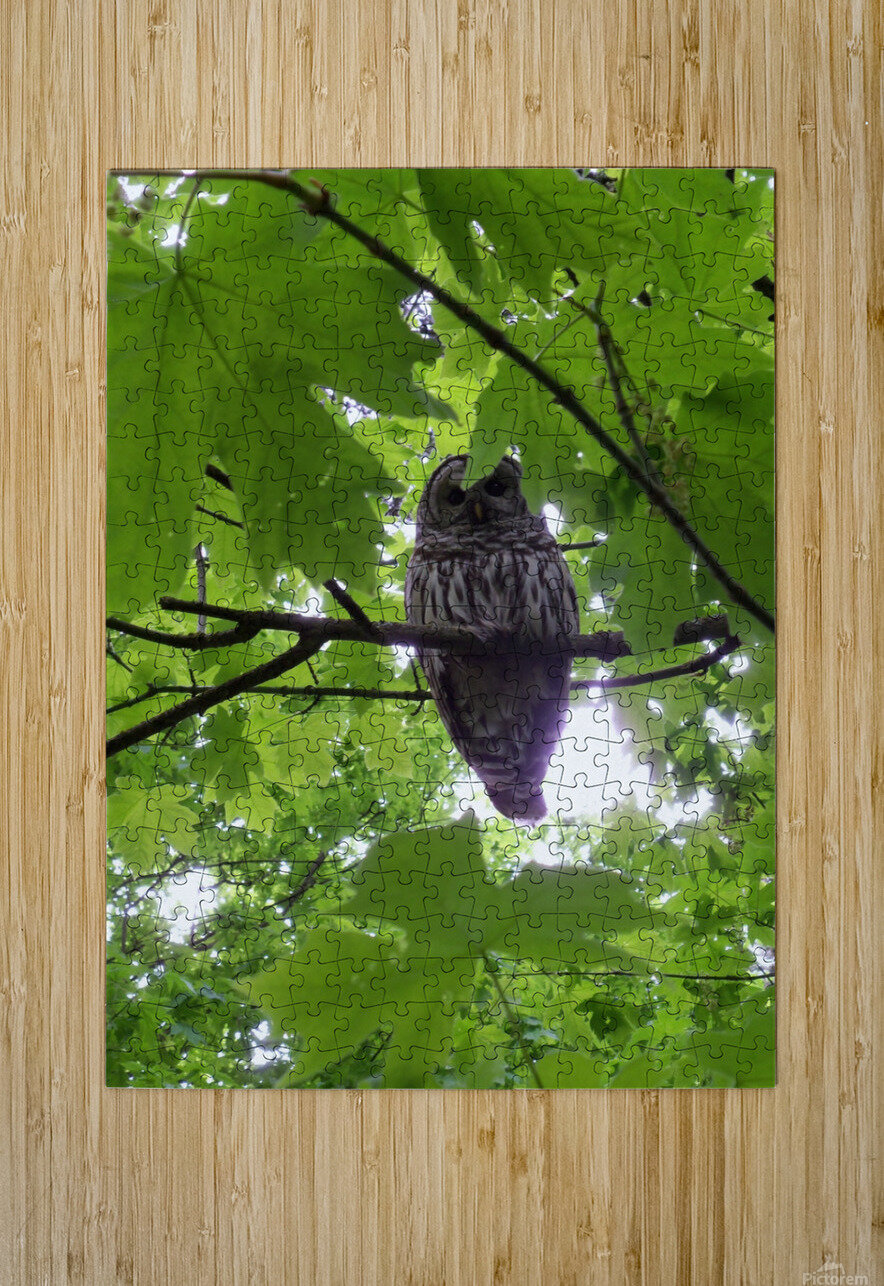 Owl  HD Metal print with Floating Frame on Back
