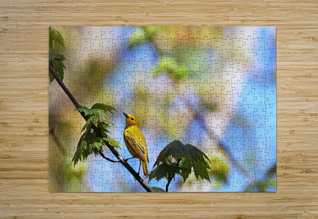 Yellow Warbler In Maple Tree  HD Metal print with Floating Frame on Back
