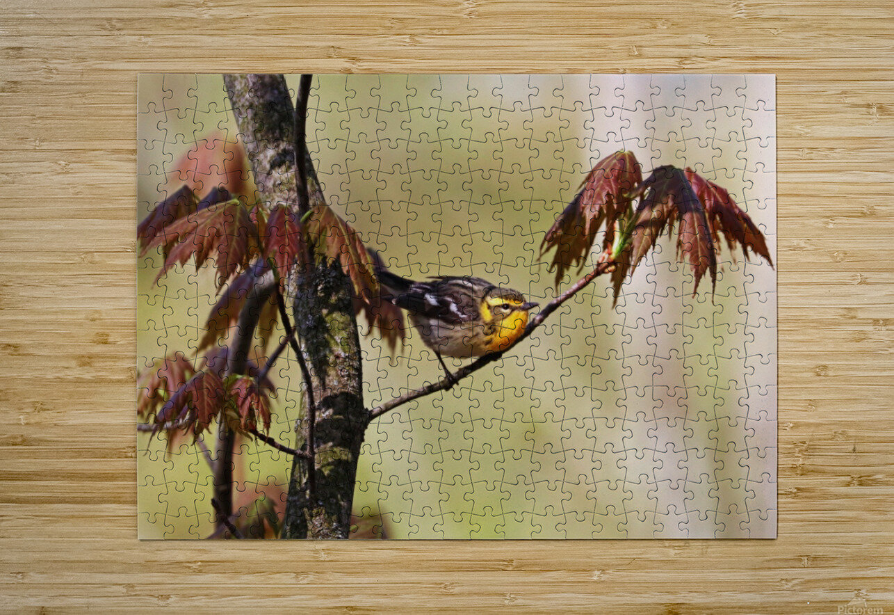 Blackburnian Warbler In Maple Tree  HD Metal print with Floating Frame on Back