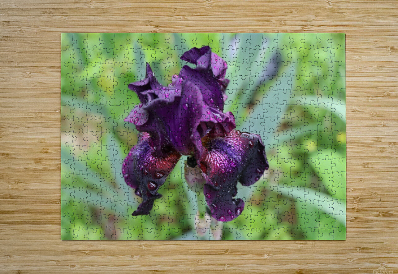 Purple Iris  HD Metal print with Floating Frame on Back