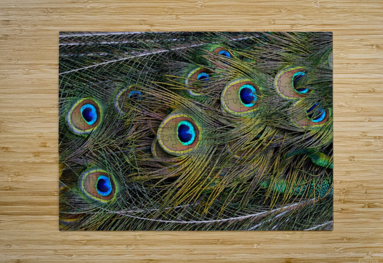 peacock tail feathers close up  HD Metal print with Floating Frame on Back