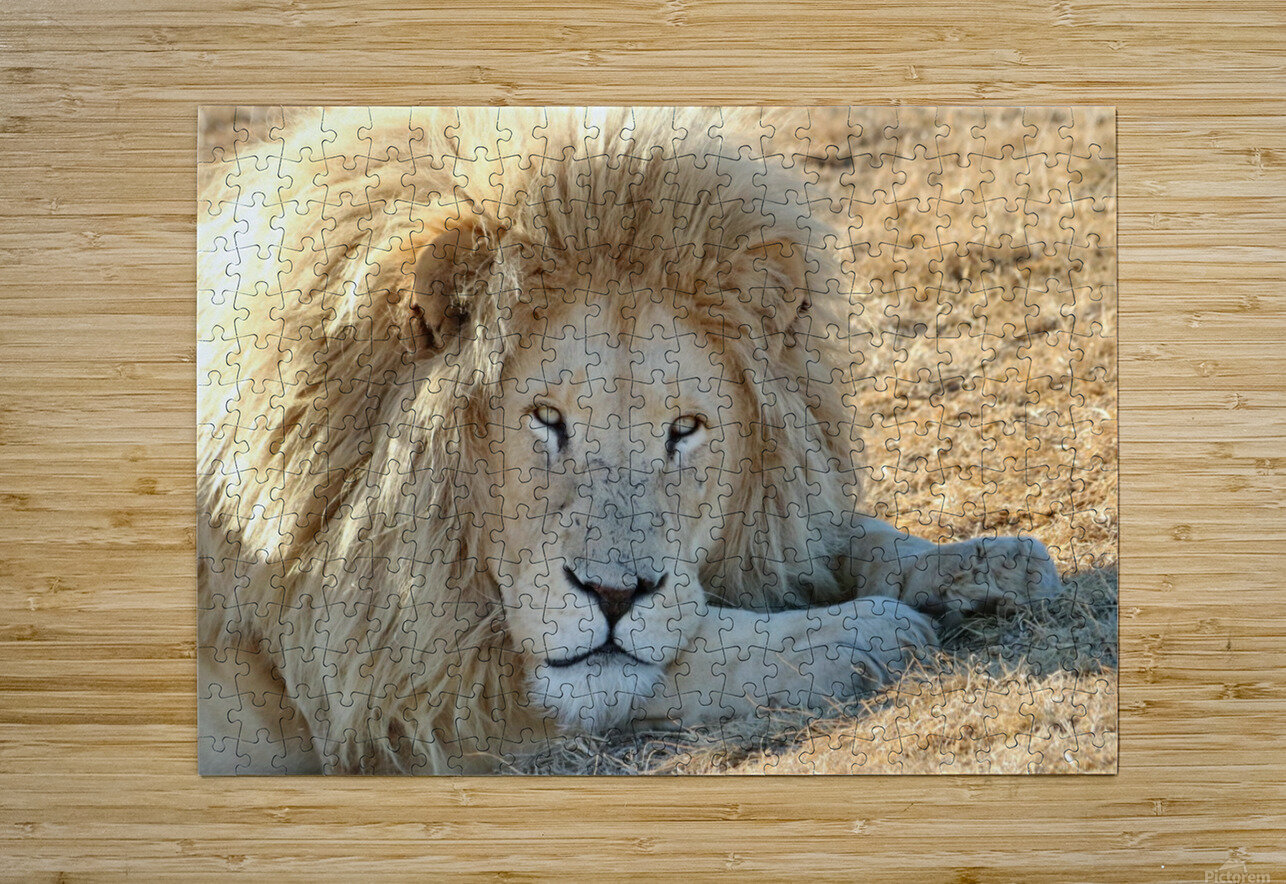 White Lion Portrait 913  HD Metal print with Floating Frame on Back