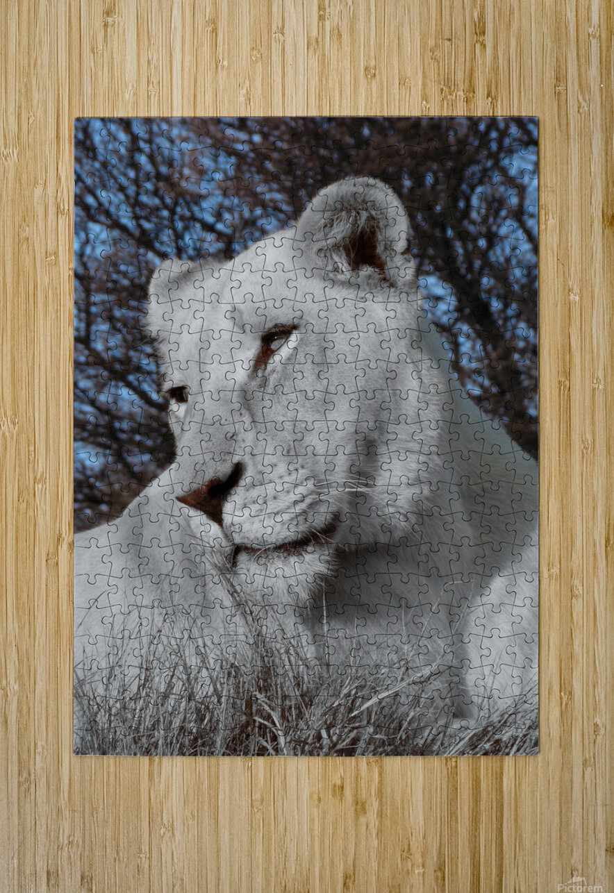 White Lion Female 1030593  HD Metal print with Floating Frame on Back