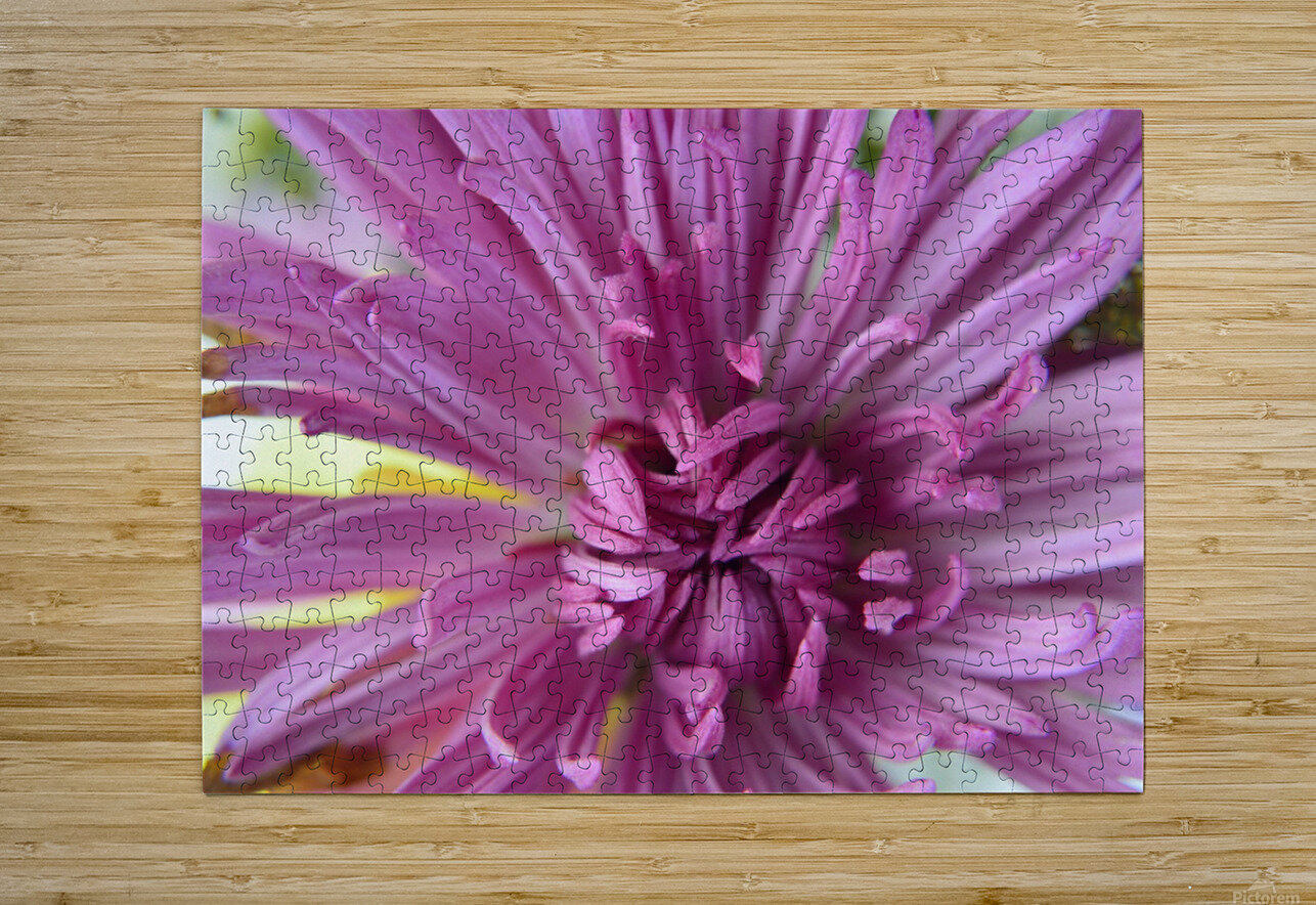 Fuscia-Colored Aster  HD Metal print with Floating Frame on Back