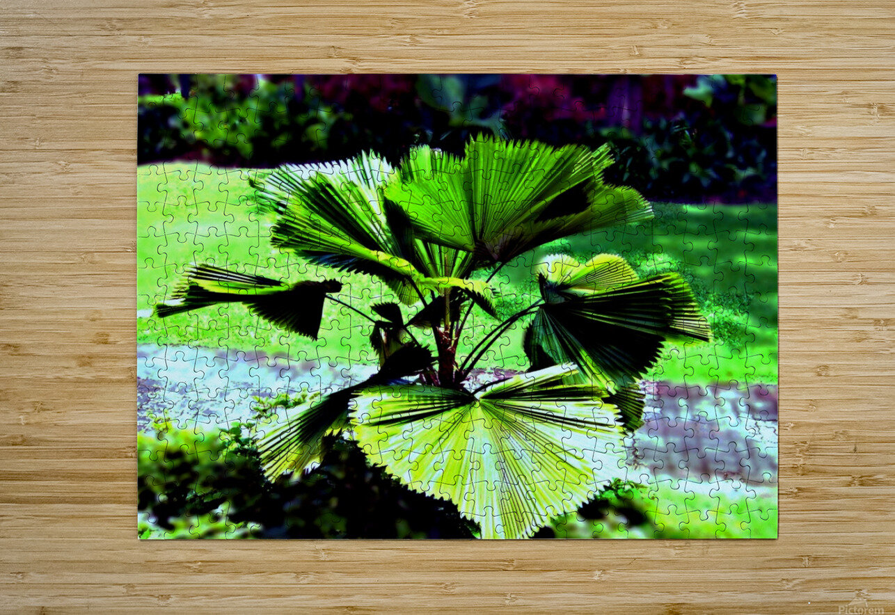 BO902 - Licuala peltata Leaves  HD Metal print with Floating Frame on Back