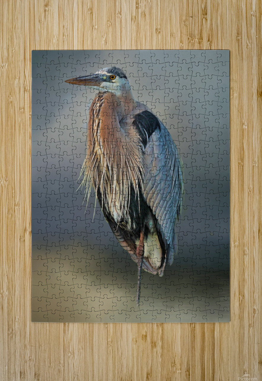 Great Blue Heron At Rest  HD Metal print with Floating Frame on Back