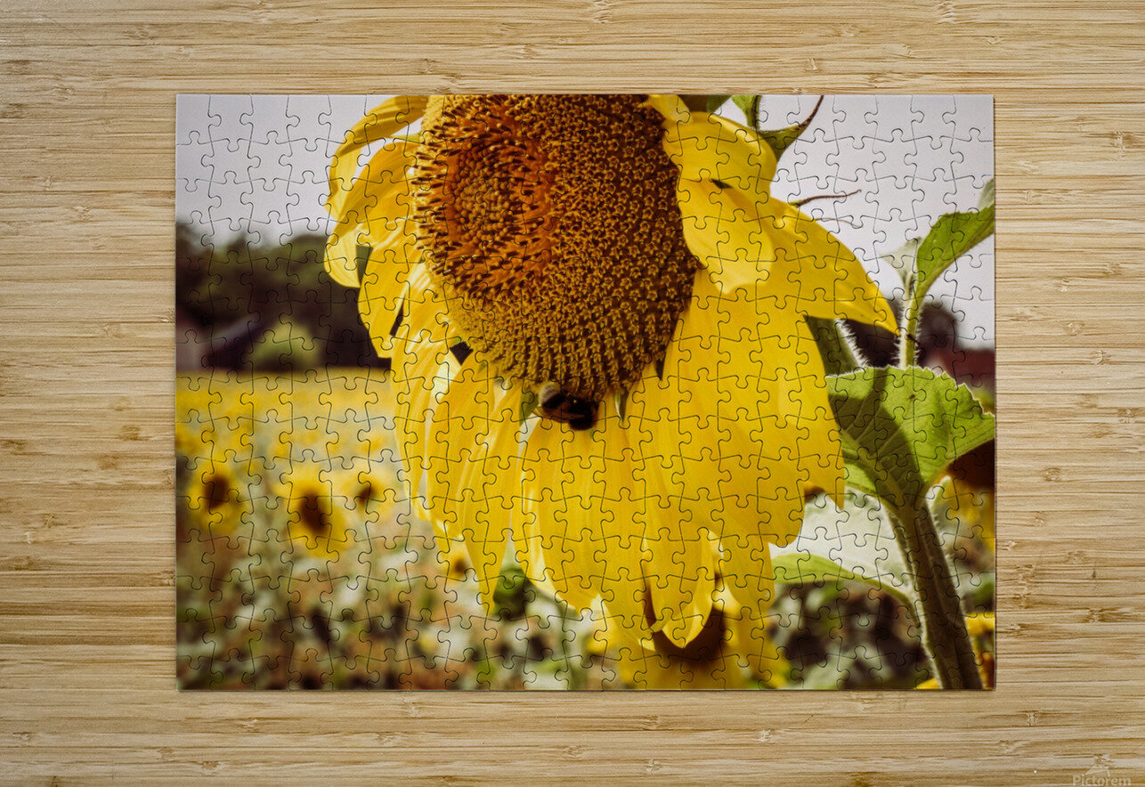 Sunflower with Bee  HD Metal print with Floating Frame on Back