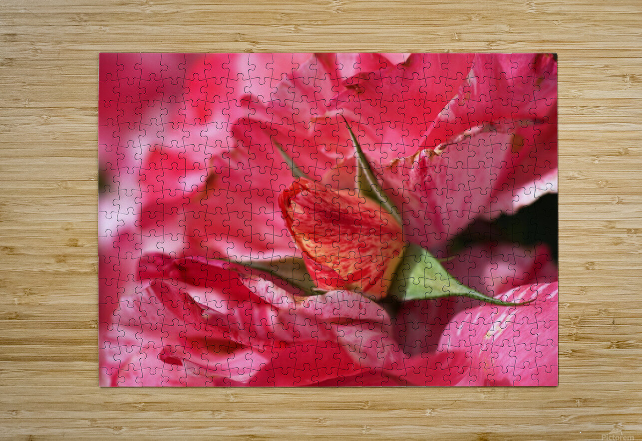 Rose Bud On My Petals  HD Metal print with Floating Frame on Back