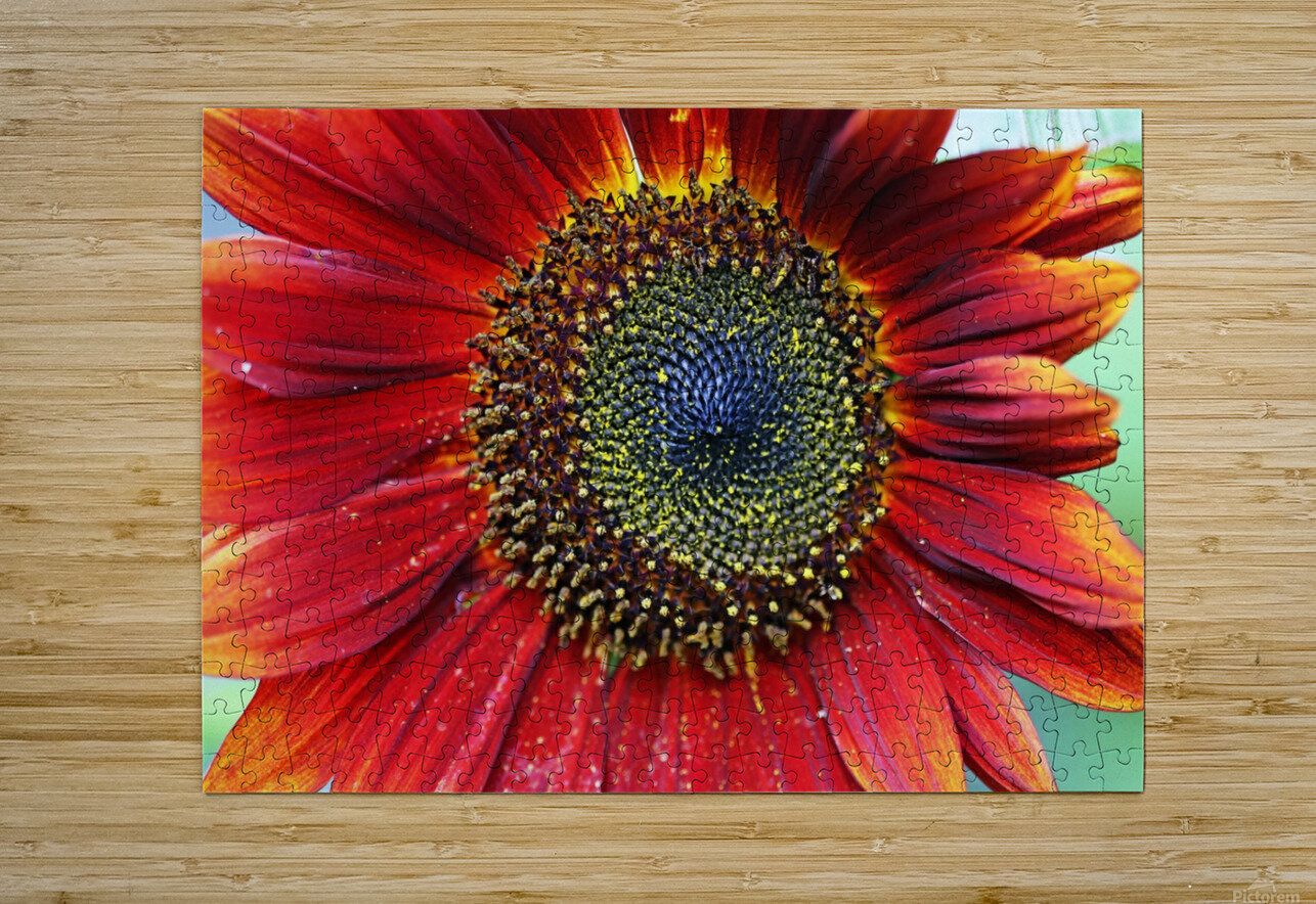 Red Sunflower With Yellow Tips  HD Metal print with Floating Frame on Back
