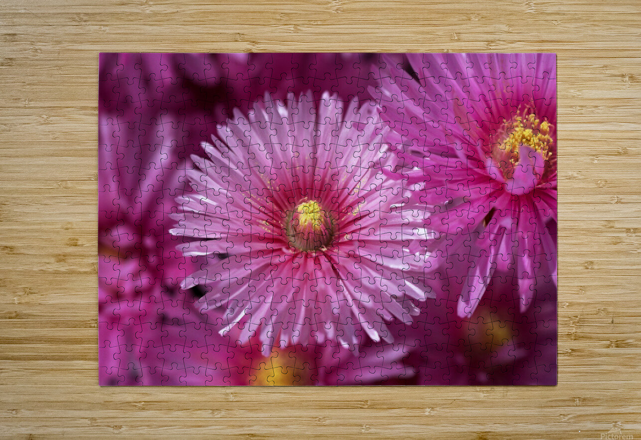 Pink Ice Plant Flowers  HD Metal print with Floating Frame on Back