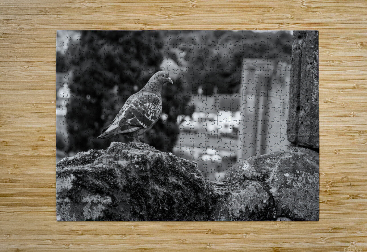 Black and White Pigeon  HD Metal print with Floating Frame on Back