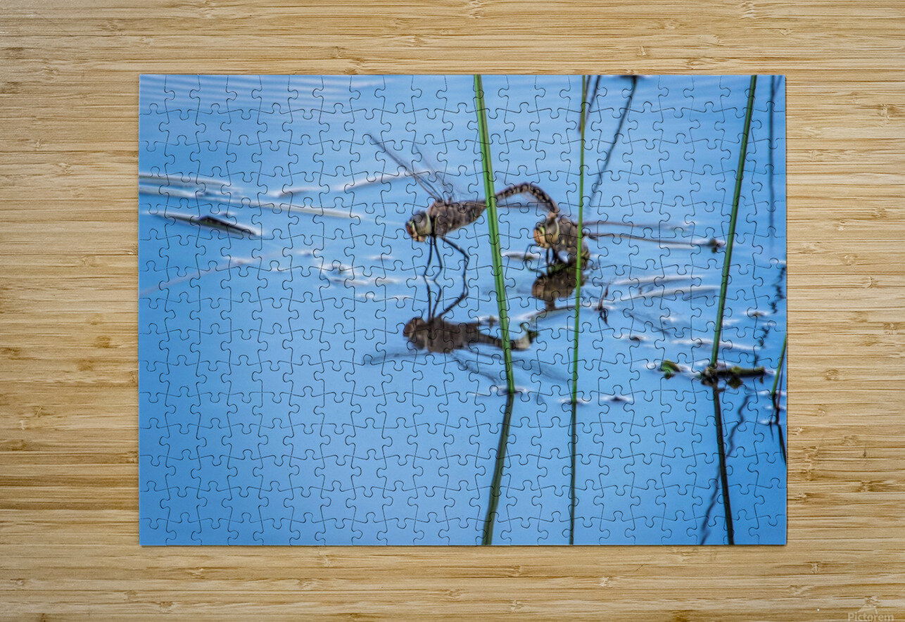 Dragonflies   HD Metal print with Floating Frame on Back