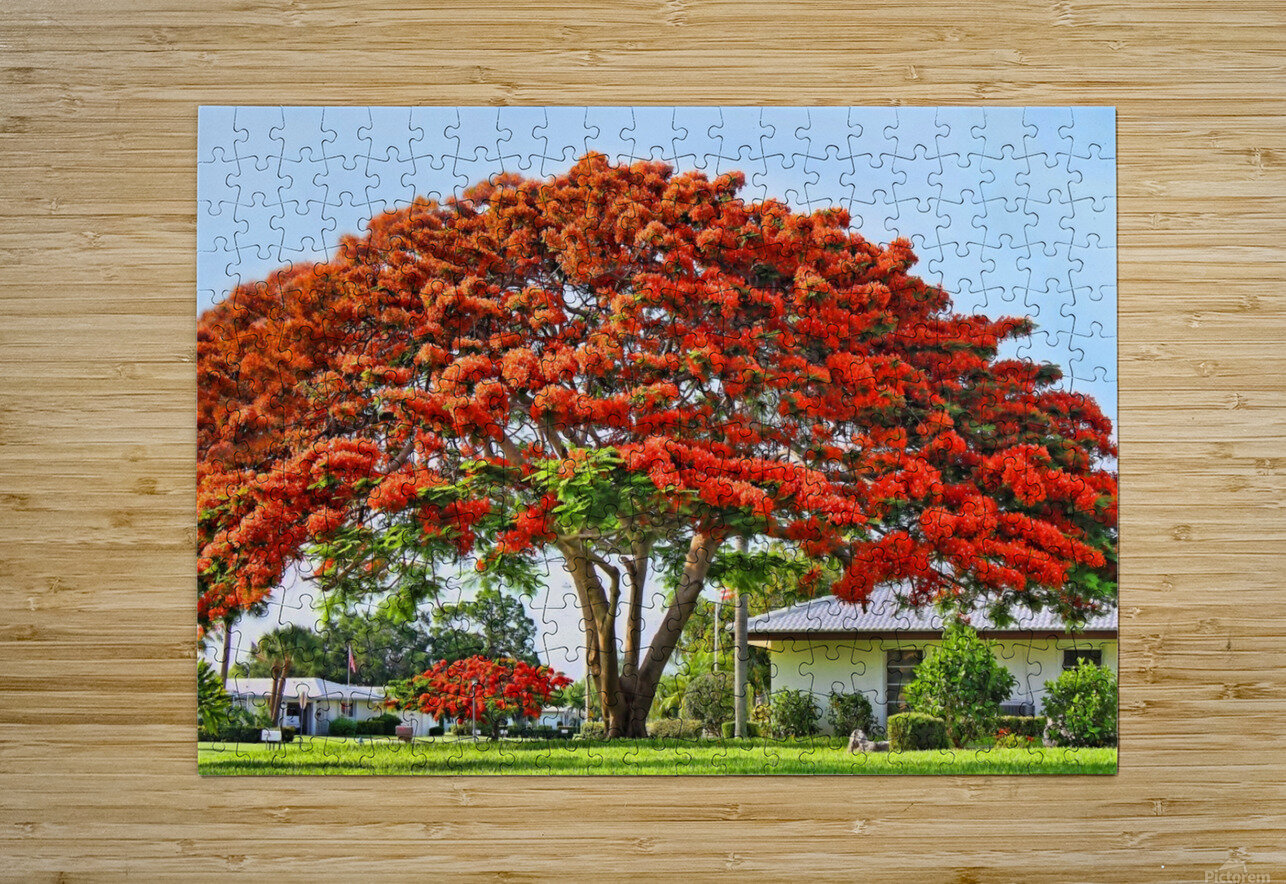 Royal Poinciana Tree  HD Metal print with Floating Frame on Back
