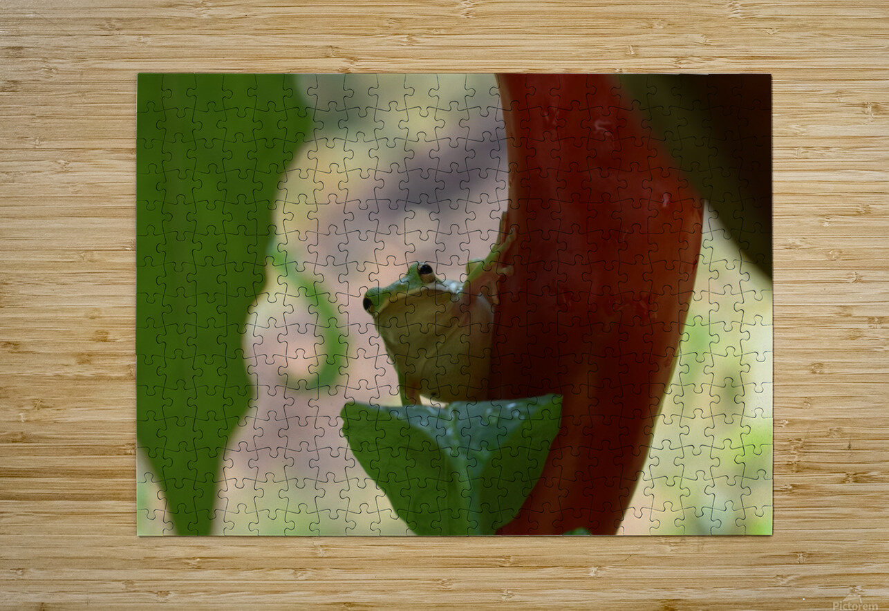 Peeping Frog  HD Metal print with Floating Frame on Back