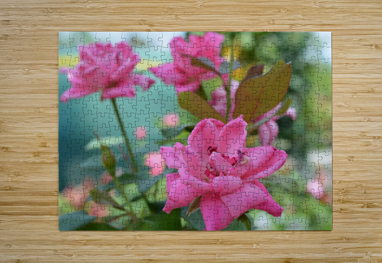Pink Rose Garden Photograph  HD Metal print with Floating Frame on Back