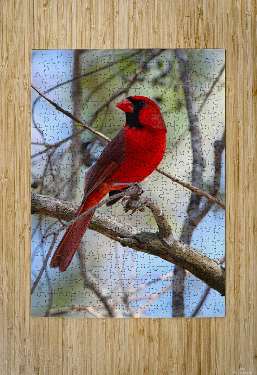 Cardinal in tree  HD Metal print with Floating Frame on Back