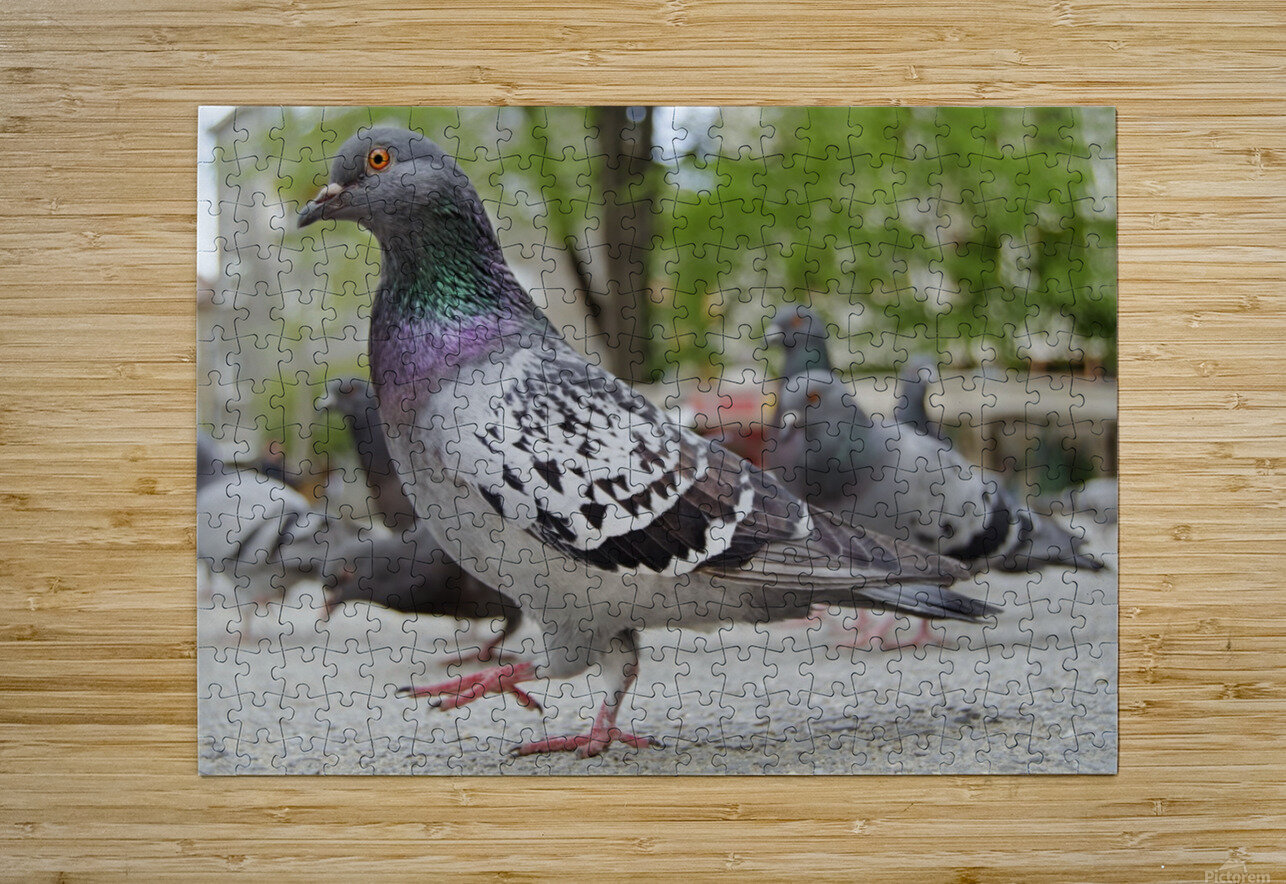 Pigeon in the park  HD Metal print with Floating Frame on Back
