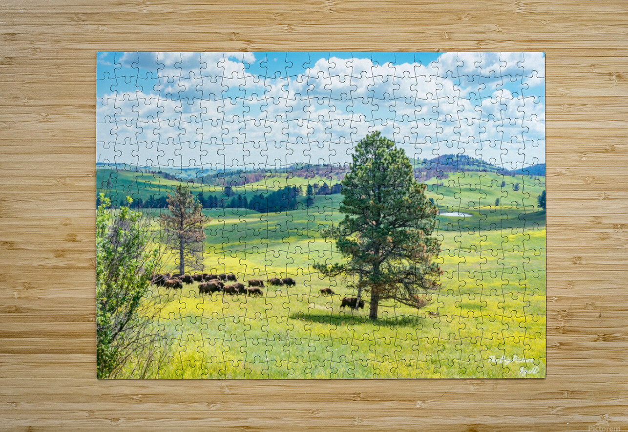 Custer State Park Bison  HD Metal print with Floating Frame on Back