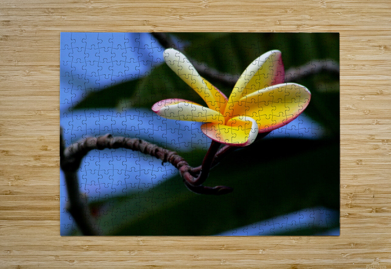 Yellow Plumeria   HD Metal print with Floating Frame on Back