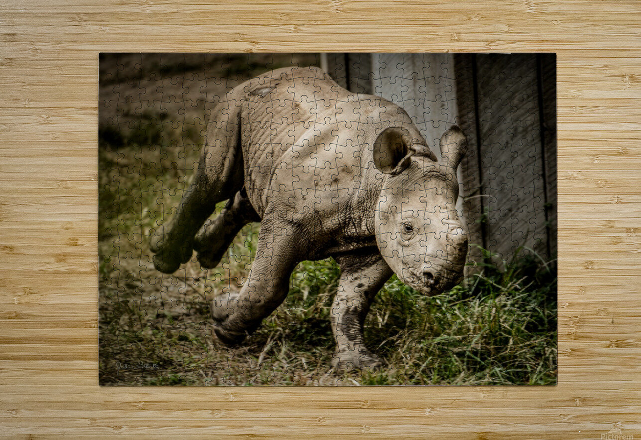 Baby Rhino  HD Metal print with Floating Frame on Back