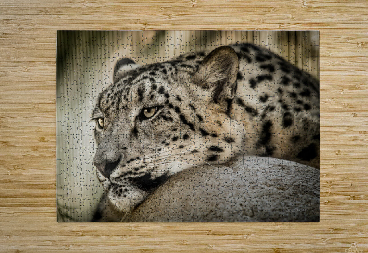Snow Leopard  HD Metal print with Floating Frame on Back