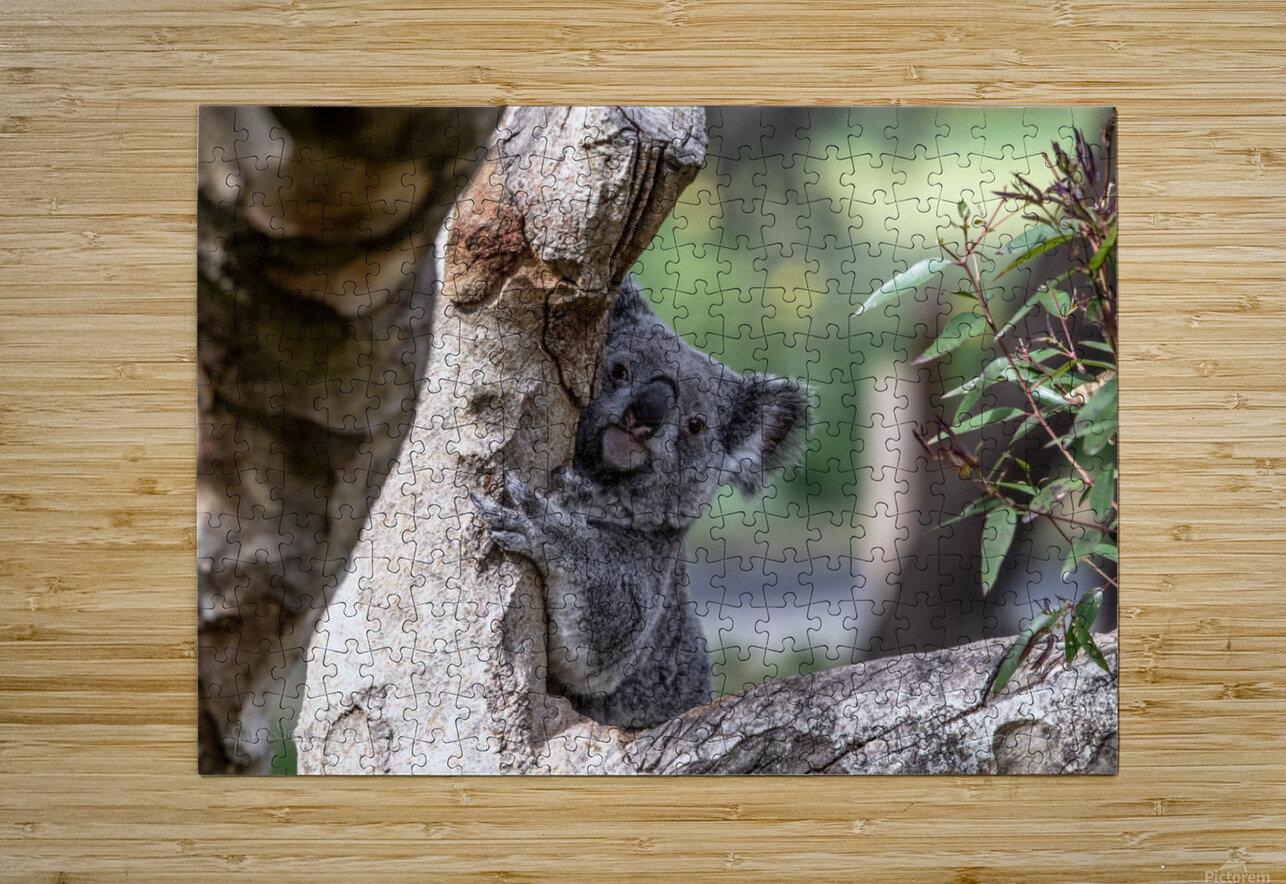 Australias Own Koala Bear  HD Metal print with Floating Frame on Back
