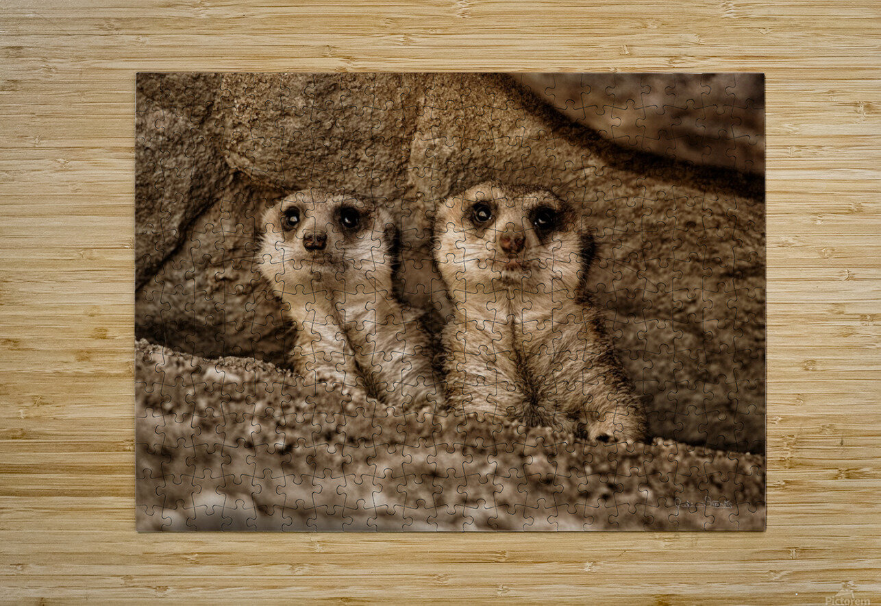 The Meerkat Twins  HD Metal print with Floating Frame on Back