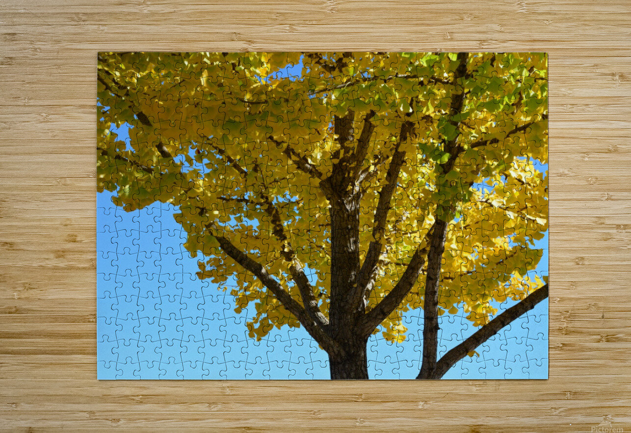 Yellow Fall Foliage Photograph  HD Metal print with Floating Frame on Back
