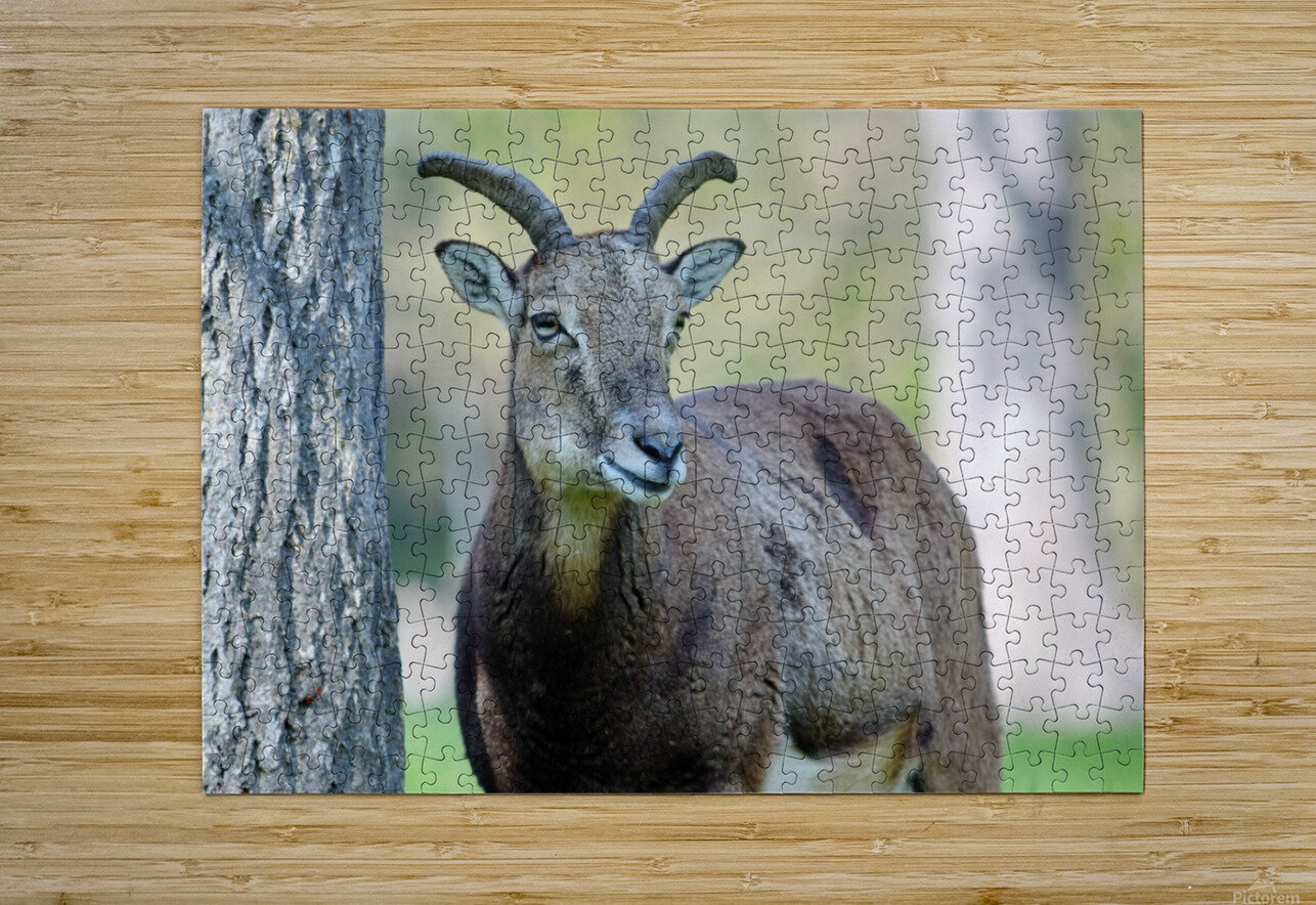 Mouflon in the Forest Portrait  HD Metal print with Floating Frame on Back