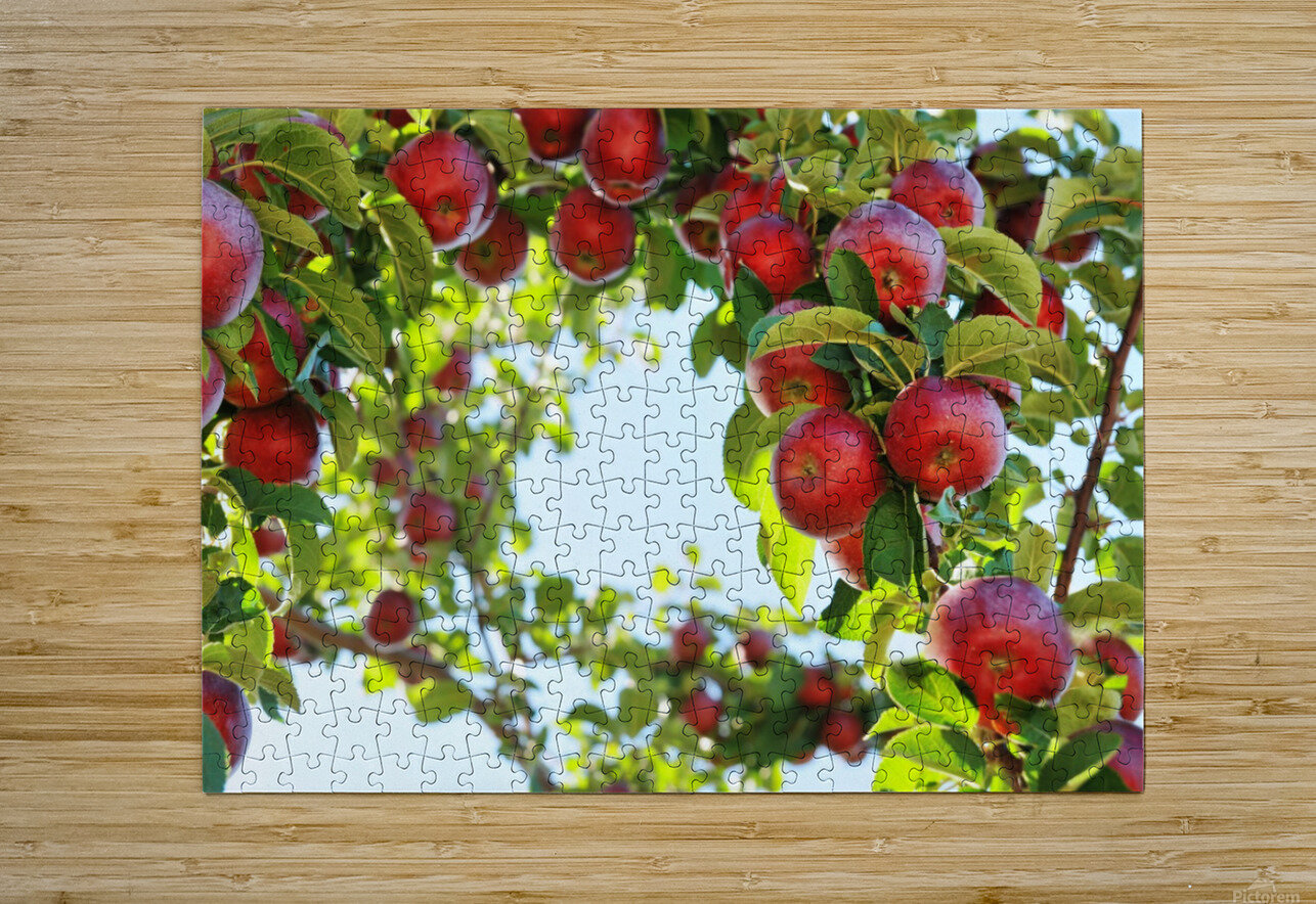 Apples Orchard- Harvest  HD Metal print with Floating Frame on Back