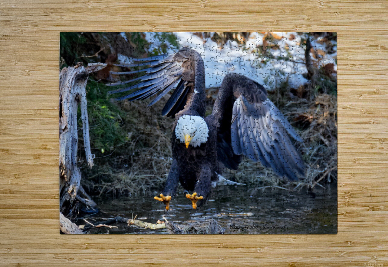 Bald Eagle  HD Metal print with Floating Frame on Back