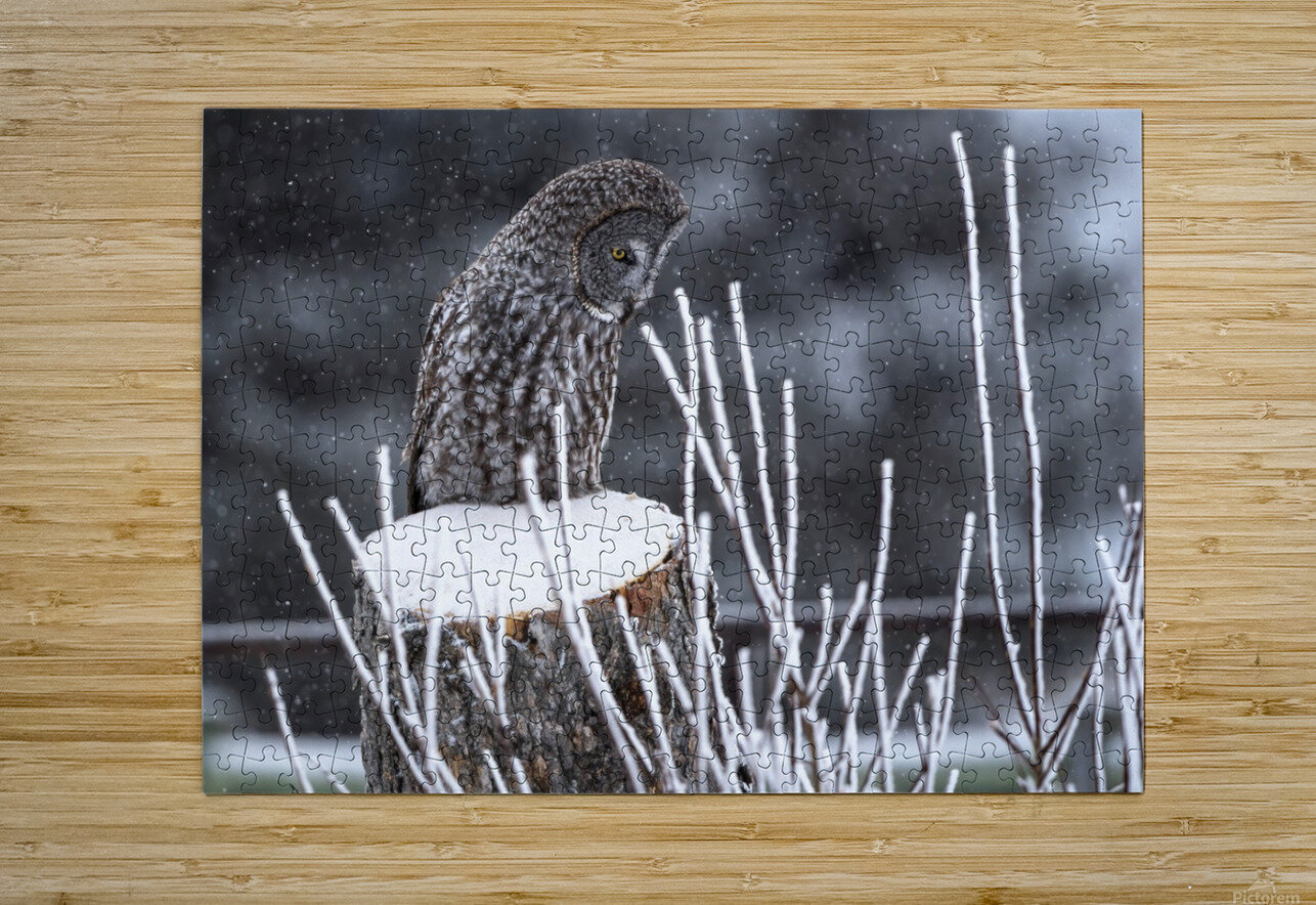 Great Grey Owl - Hunting at sunset.   Alberta Canada  HD Metal print with Floating Frame on Back