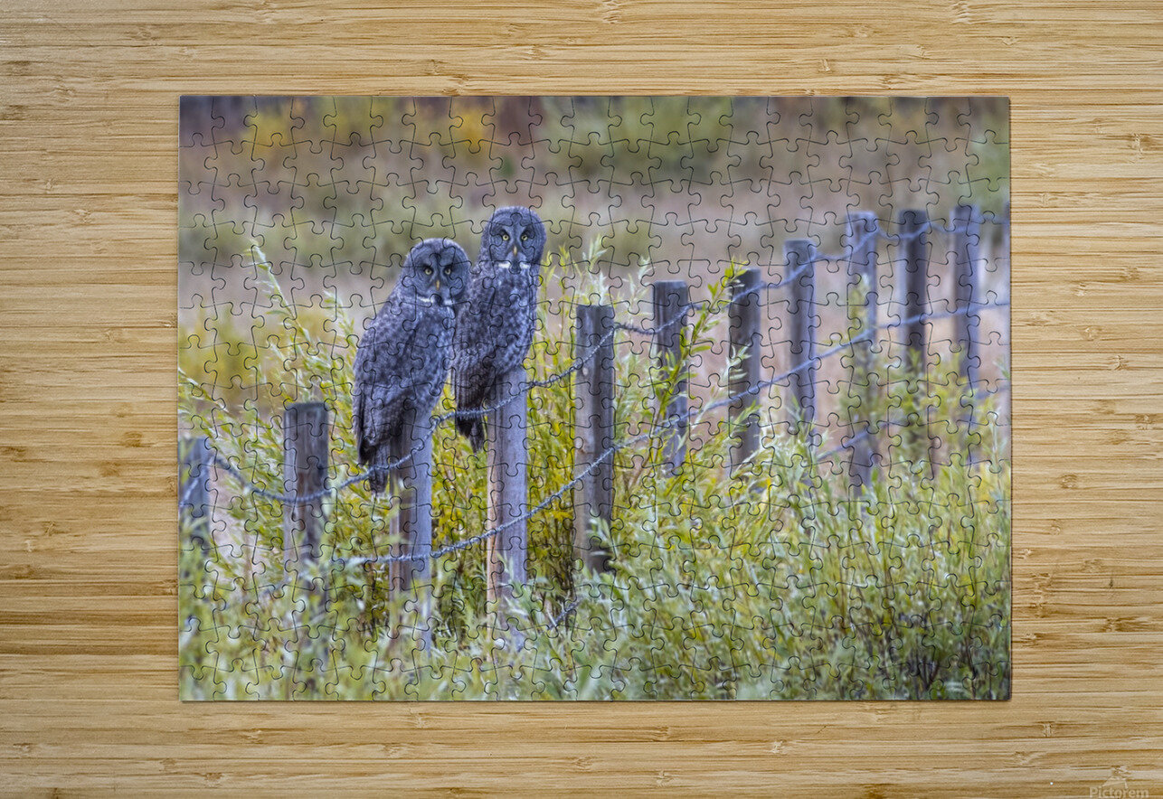 Seeing double - Great Grey Owl  HD Metal print with Floating Frame on Back