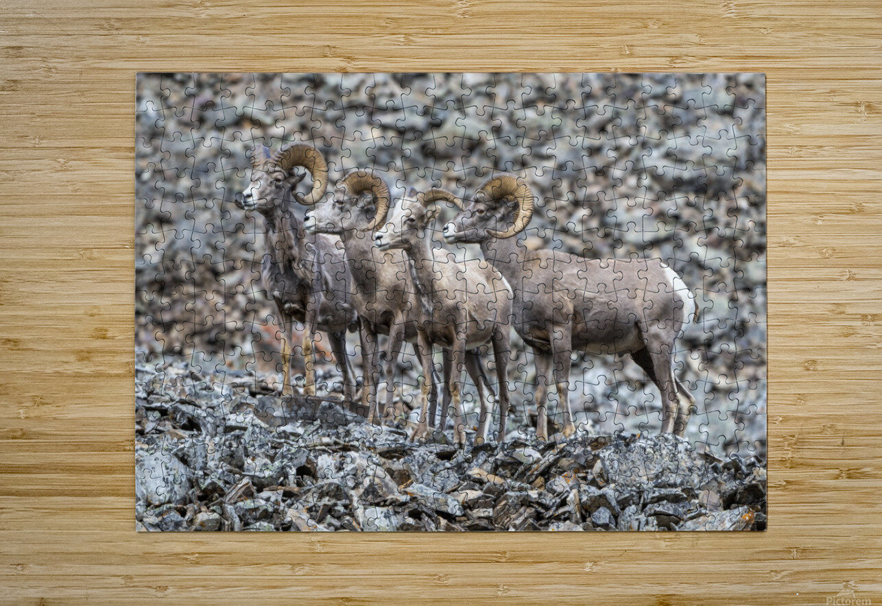Big Horn Sheep - Family Portrait  HD Metal print with Floating Frame on Back
