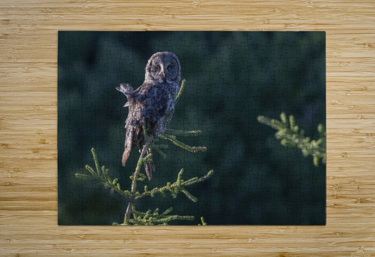 Great Grey Owl - Tree Top Hunting  HD Metal print with Floating Frame on Back