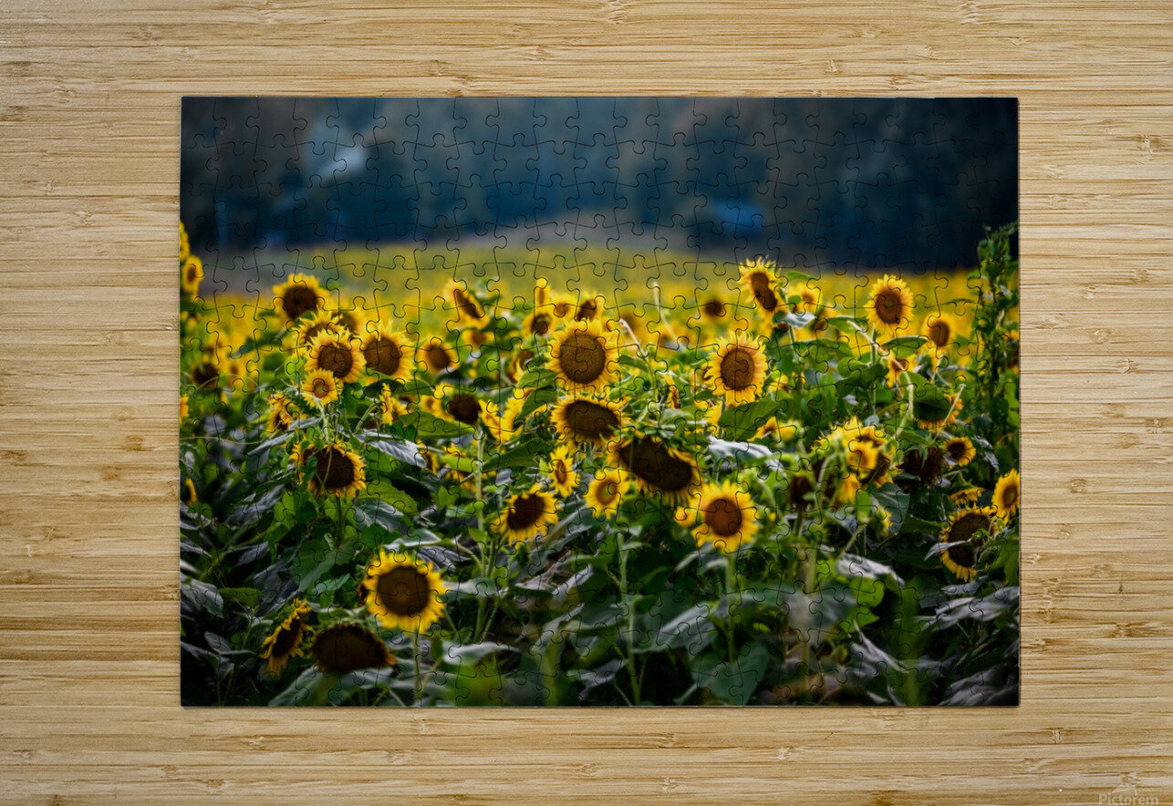 Sunflower Field  HD Metal print with Floating Frame on Back