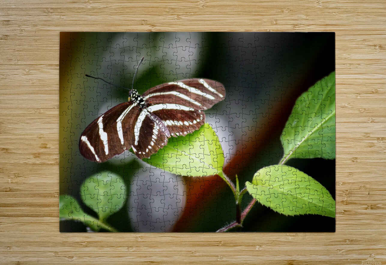 Stripped Butterfly  HD Metal print with Floating Frame on Back