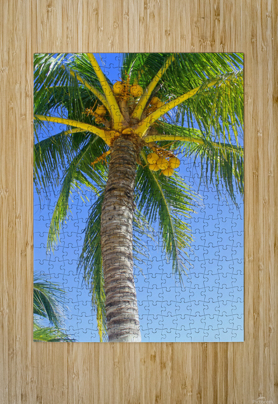 Palm Tree and Coconuts  HD Metal print with Floating Frame on Back